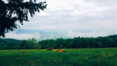 cows-383x217