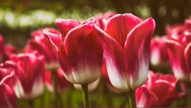 flowers-1-383x217