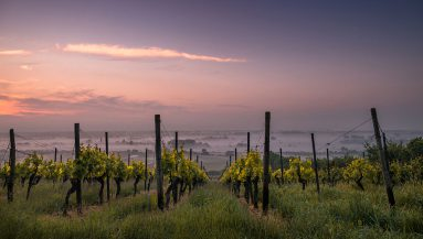 vines-1-383x217